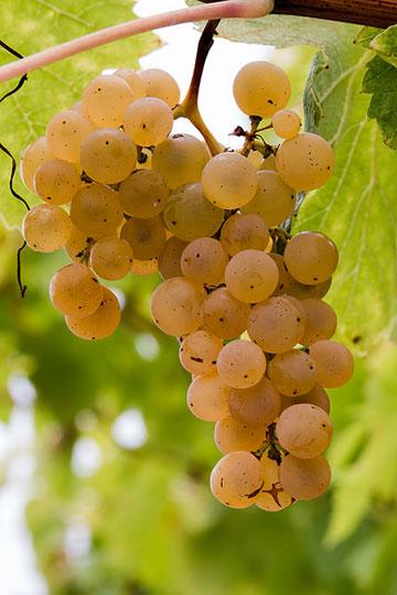 cognac-trauben-fra298-flickr